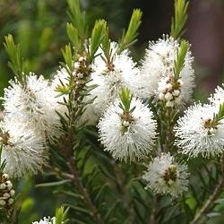 melaleuca-tea-tree-arbre-the-2-1-